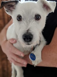 Separation anxiety UK Jack Russell Terrier