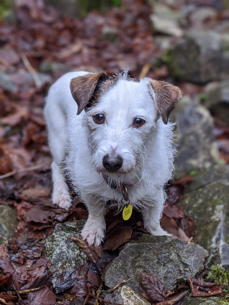Looking after a Jack Russell Terrier